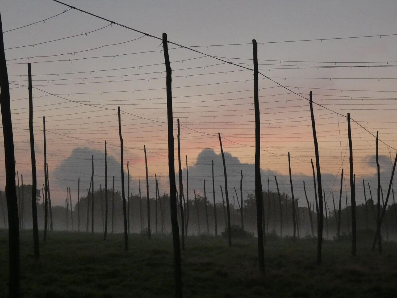 hop poles in the mist